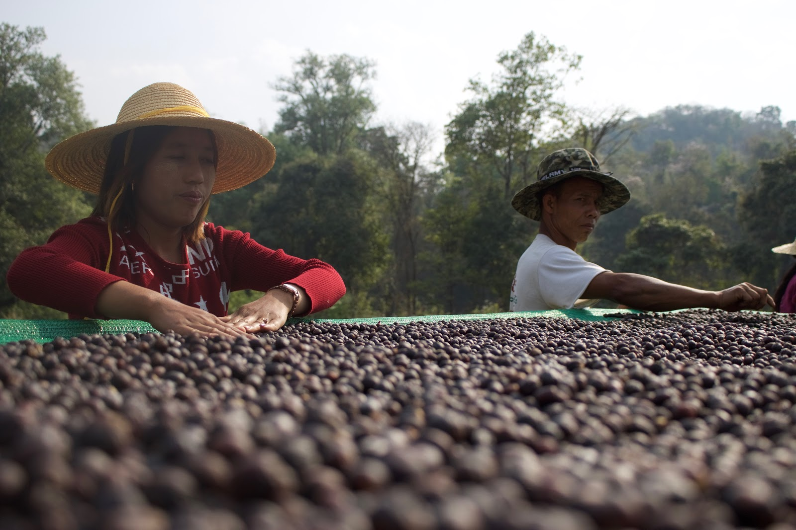 two coffee farmers spreading coffee beans to dry them under the sun
