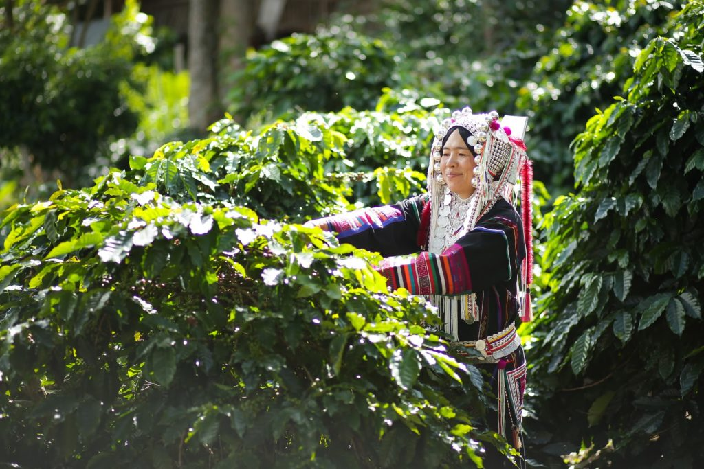a farmer from a hill tribe harvesting coffee beans