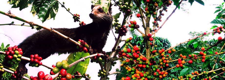 a Civet cat standing on a coffee plant