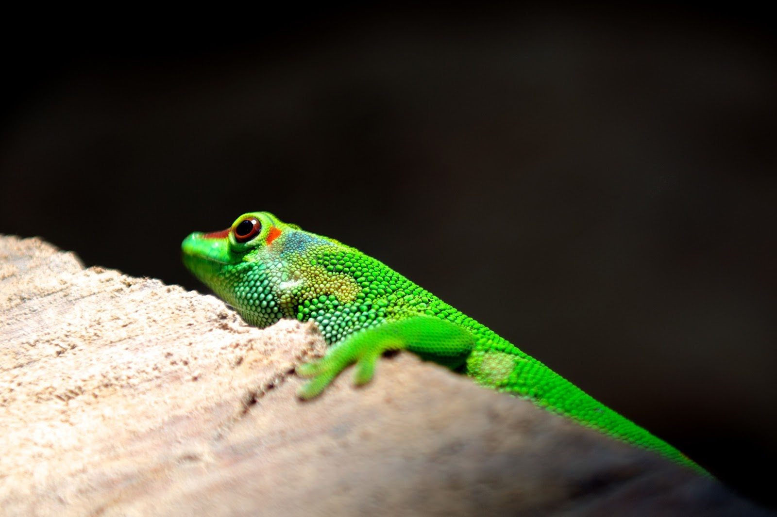 A green gecko resting on a piece of wood