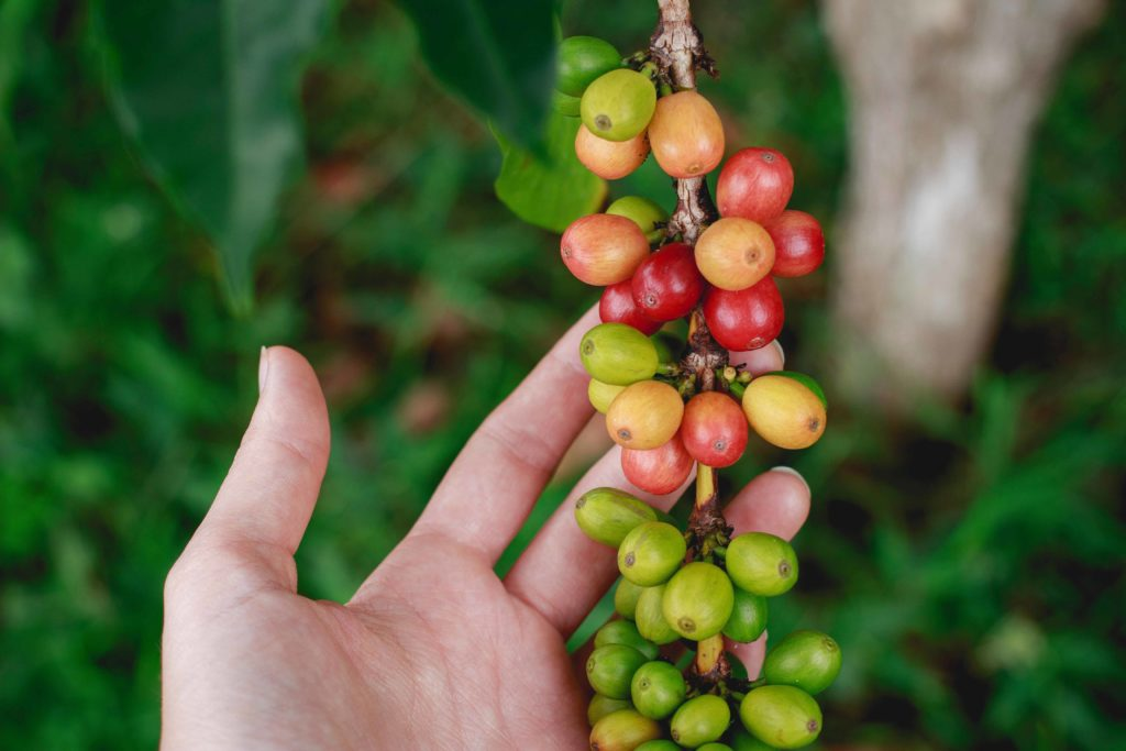 a hand lifting up coffee cherries that are still on the coffee plant