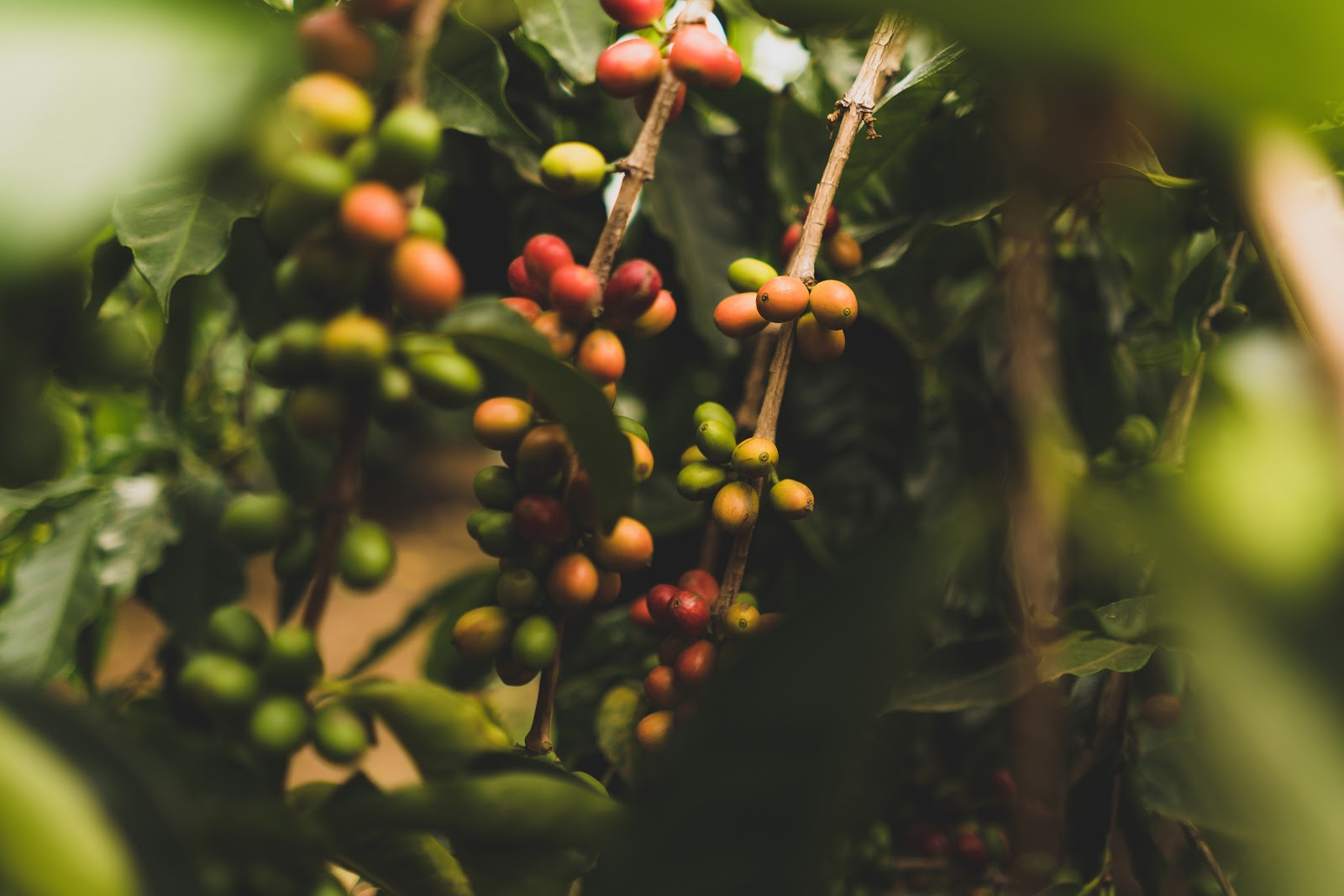 coffee cherries of different colours growing on a coffee plant