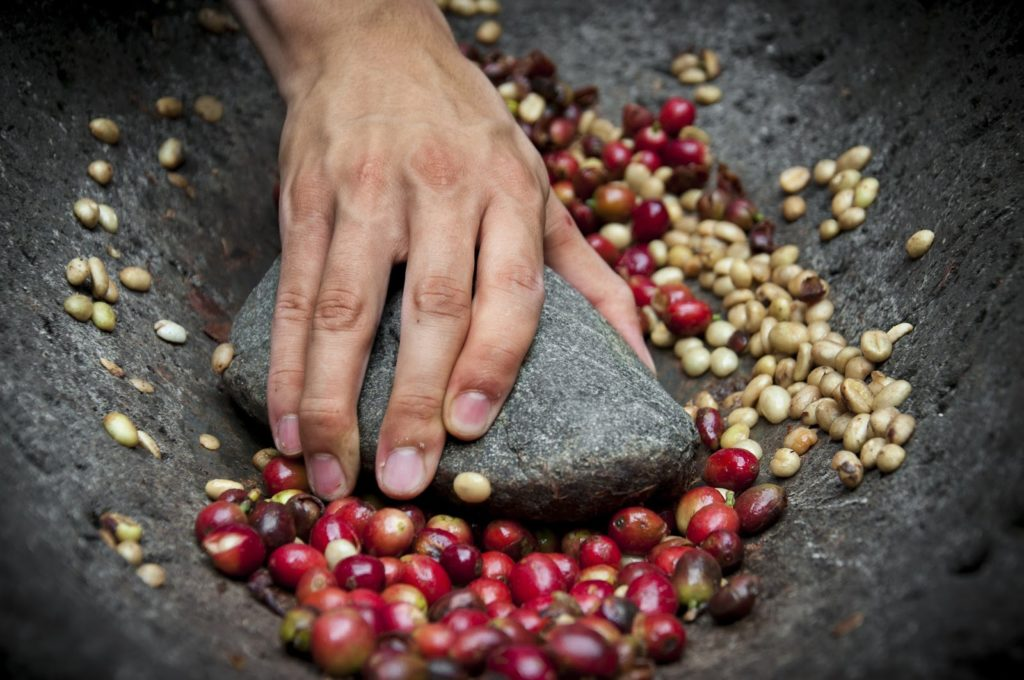 crushing coffee cherries with a large stone