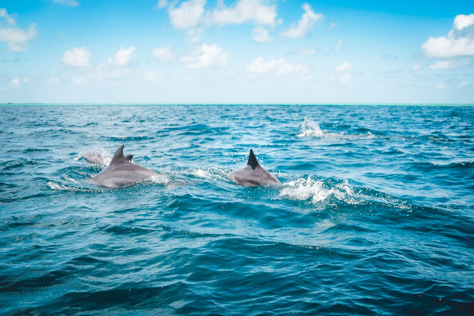 wild dolphins swimming in the ocean
