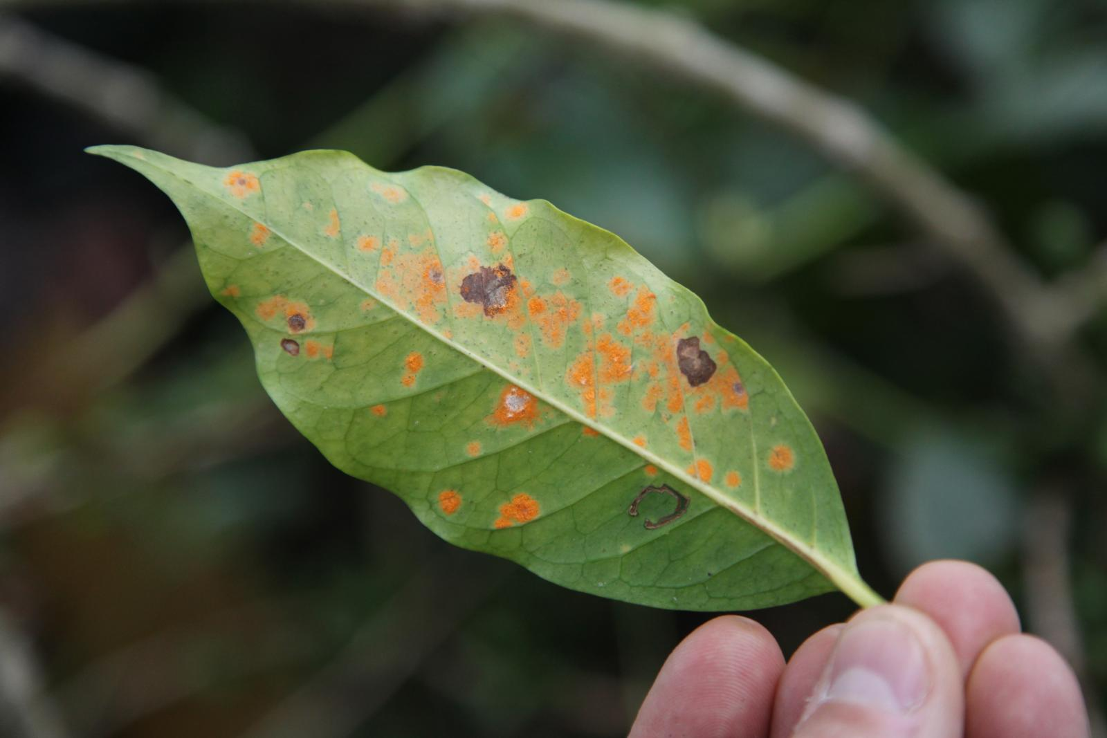 coffee rust on a leaf