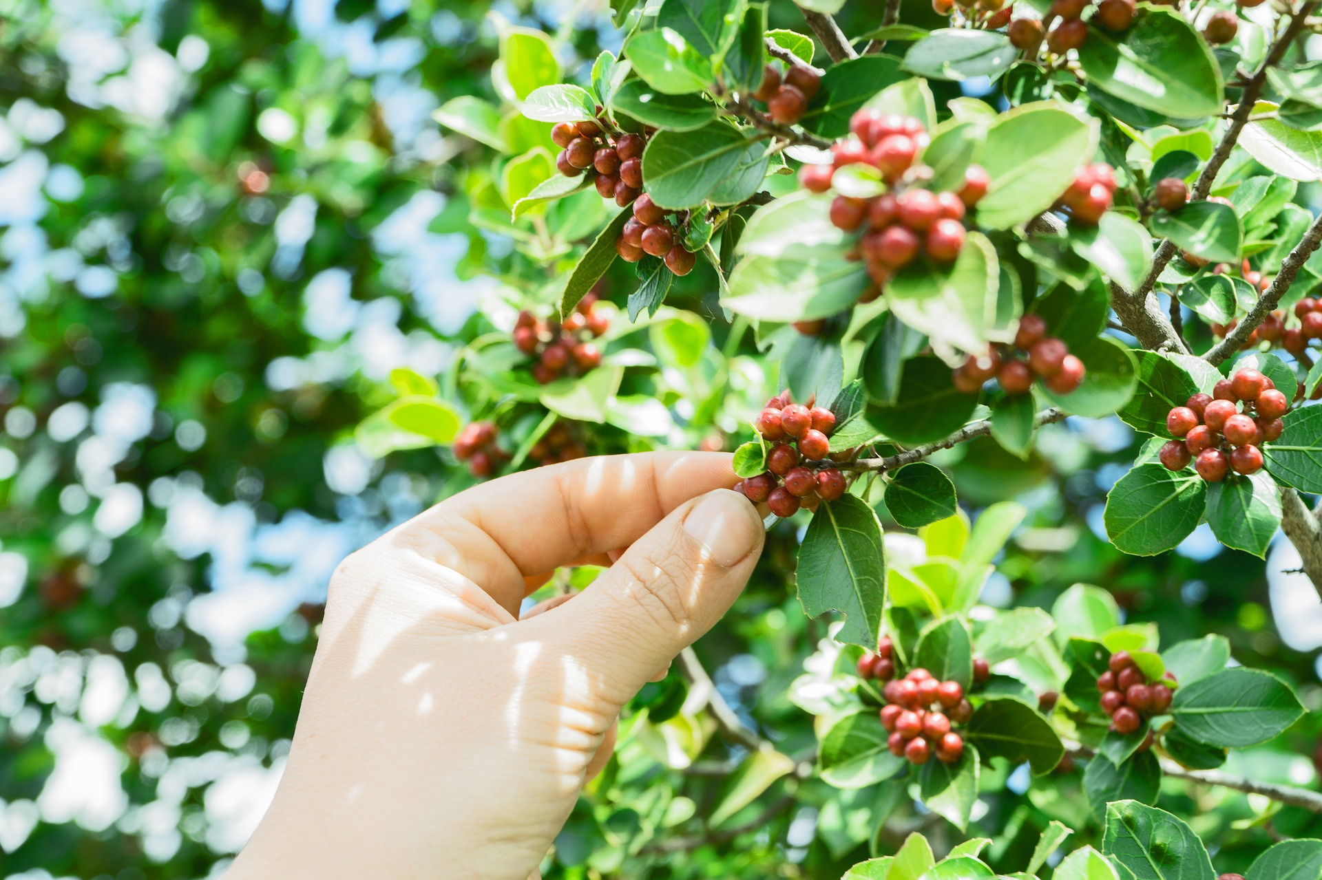 a person picking a coffee cherry from the plant