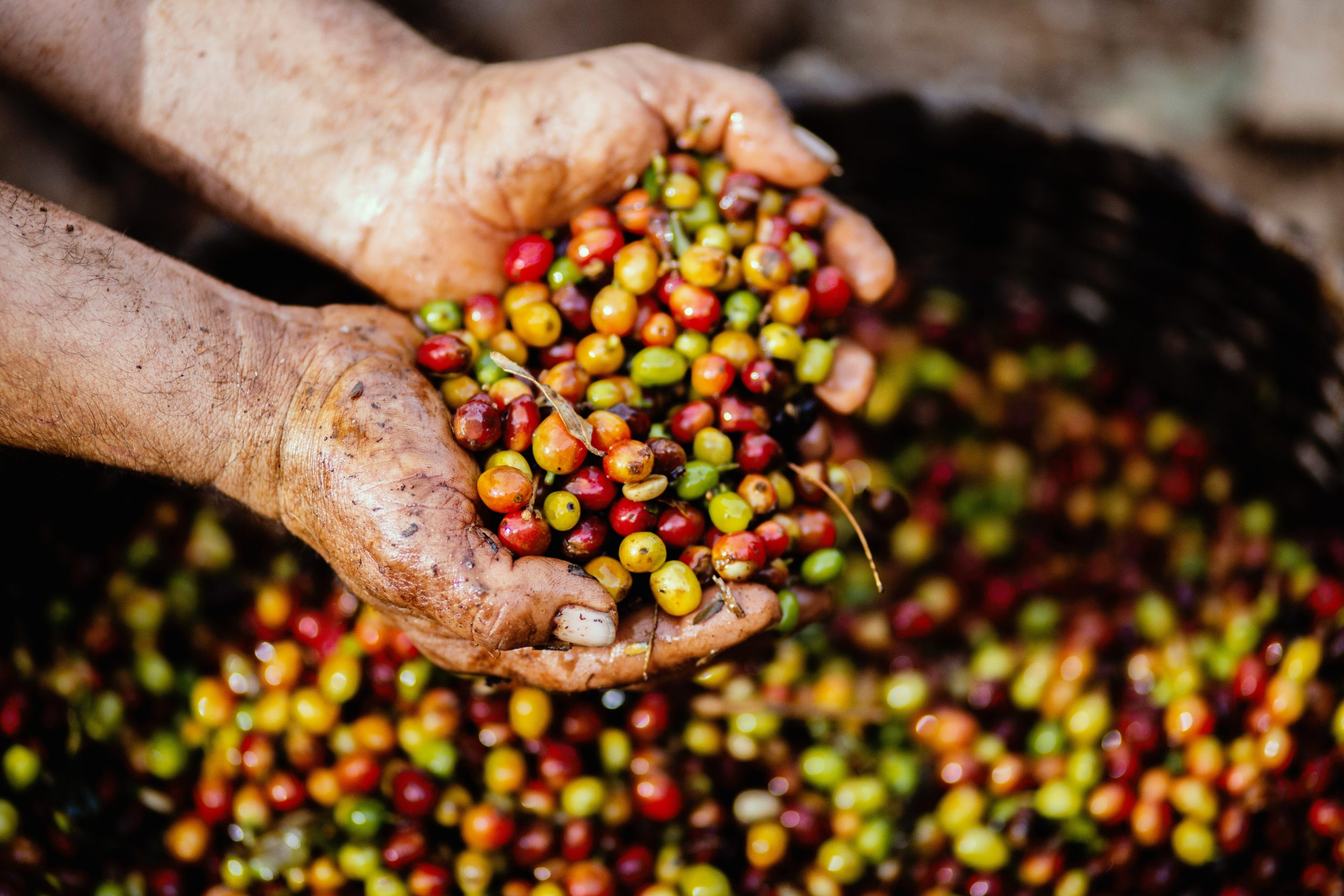 a person picking up a bunch of coffee cherries using his palms