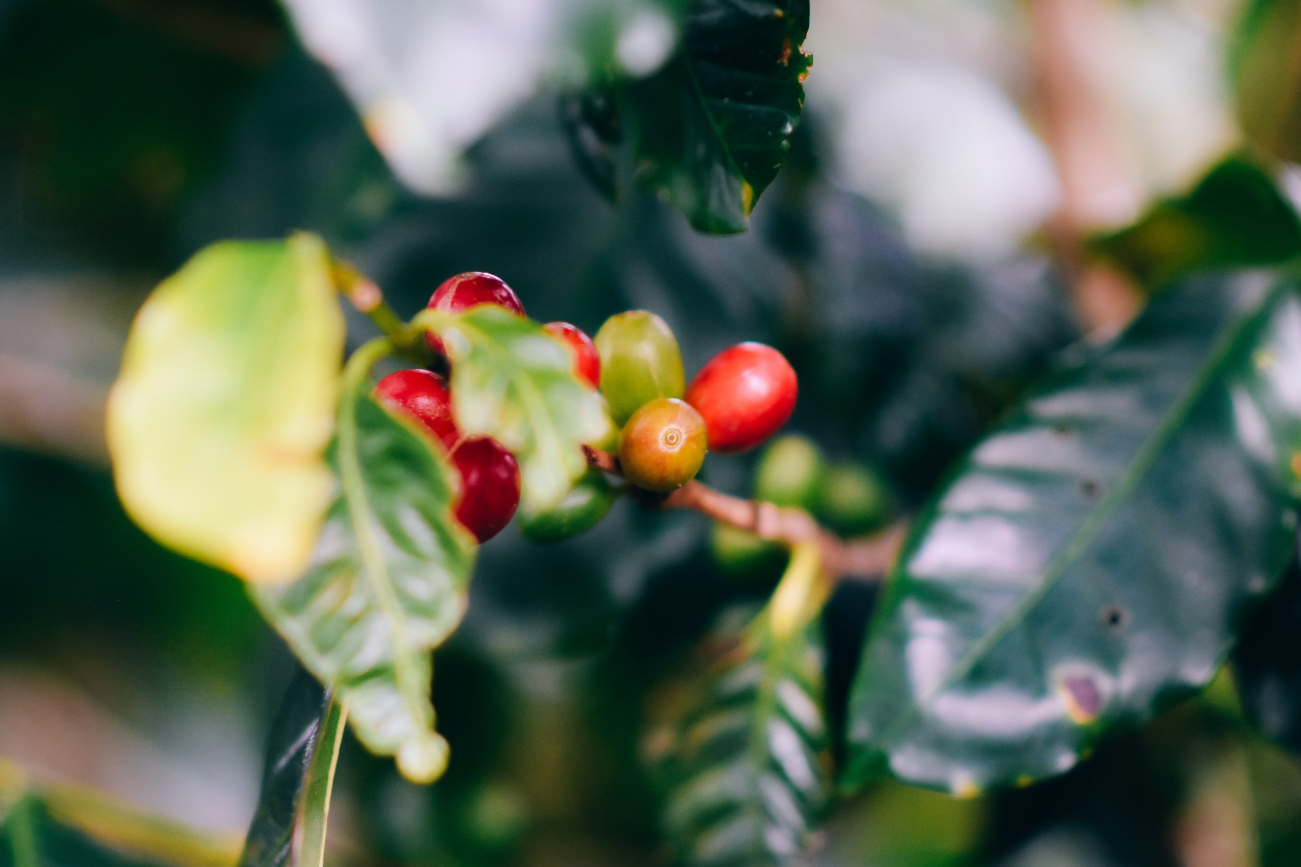 coffee cherries growing on a coffee plant