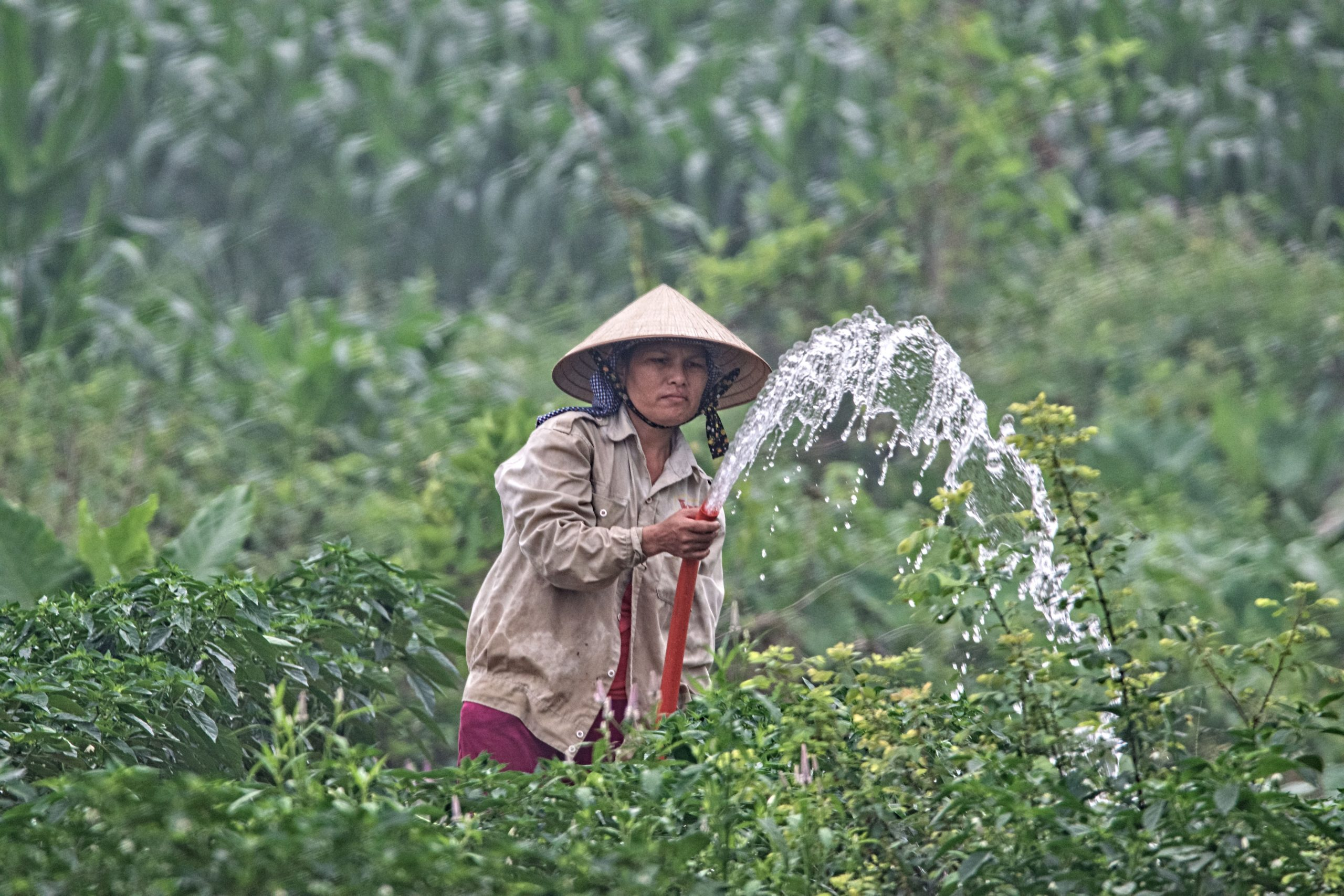 an Asian farmer watering his crops in a plantation