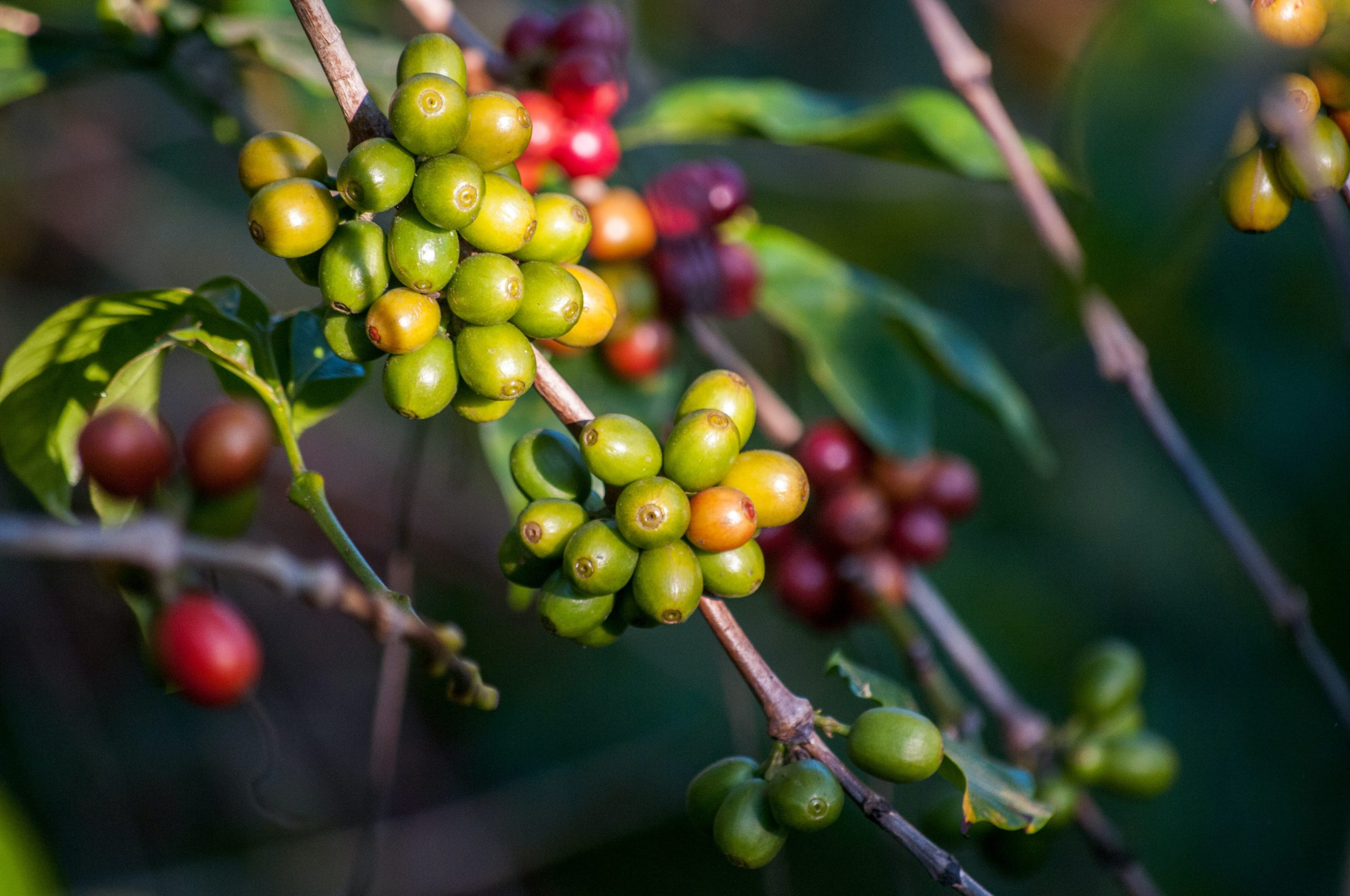 Green and red coffee cherries growing on a plant