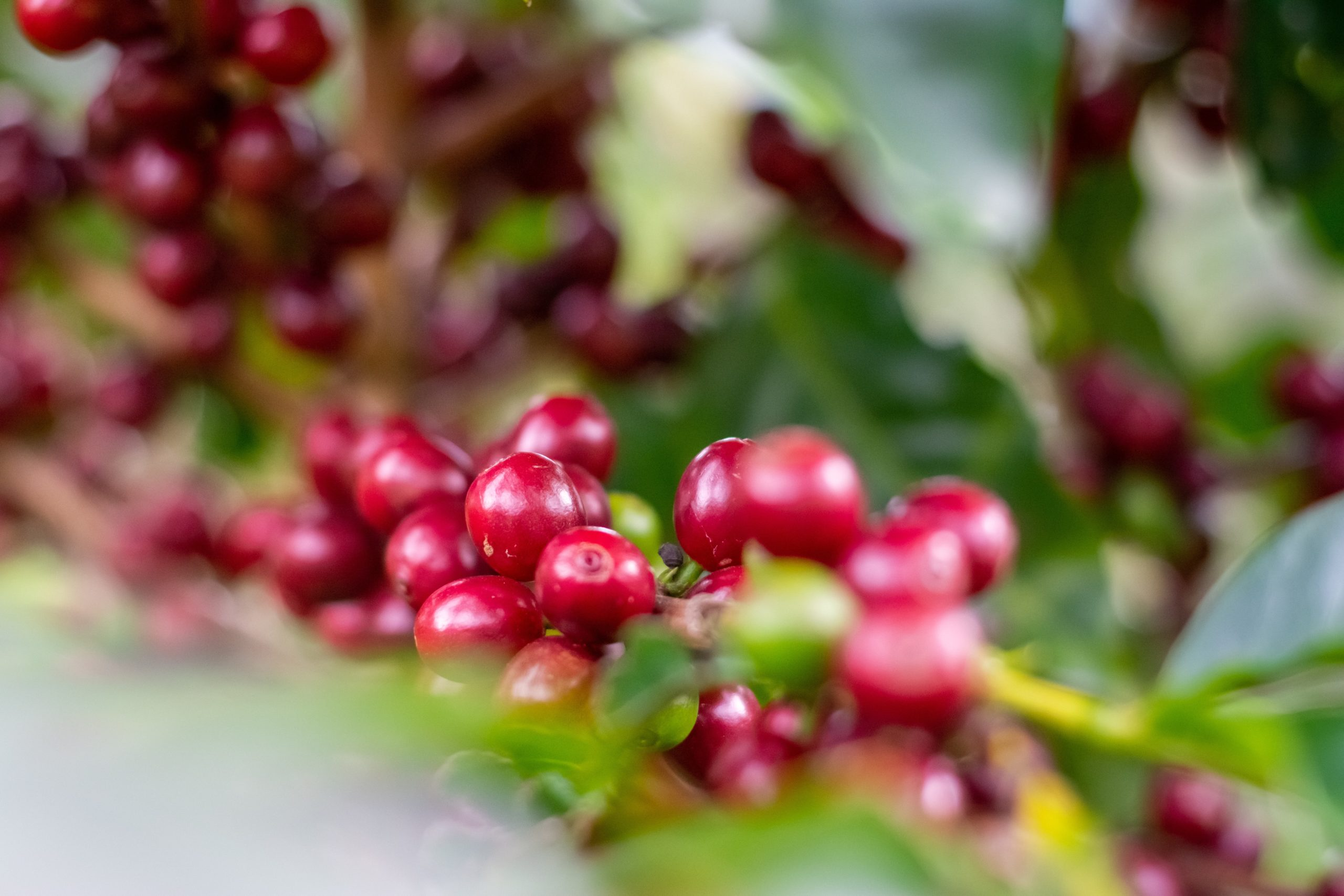 red coffee cherries growing on a tree