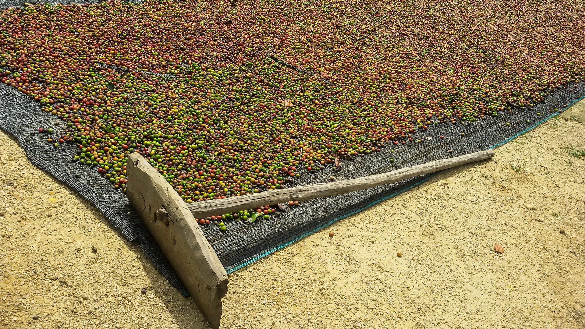 drying coffee beans on the ground