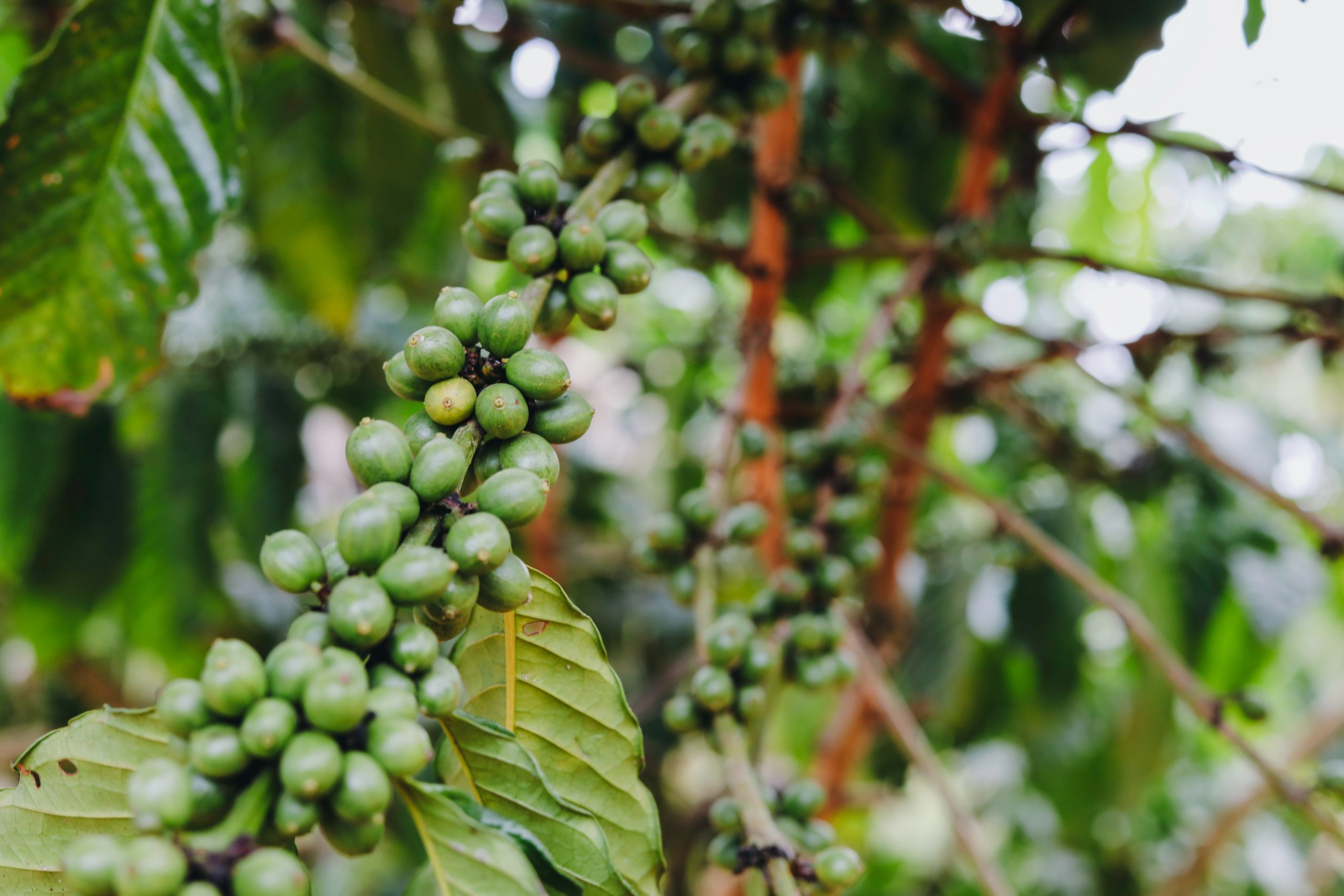 green coffee cherries on a coffee plant