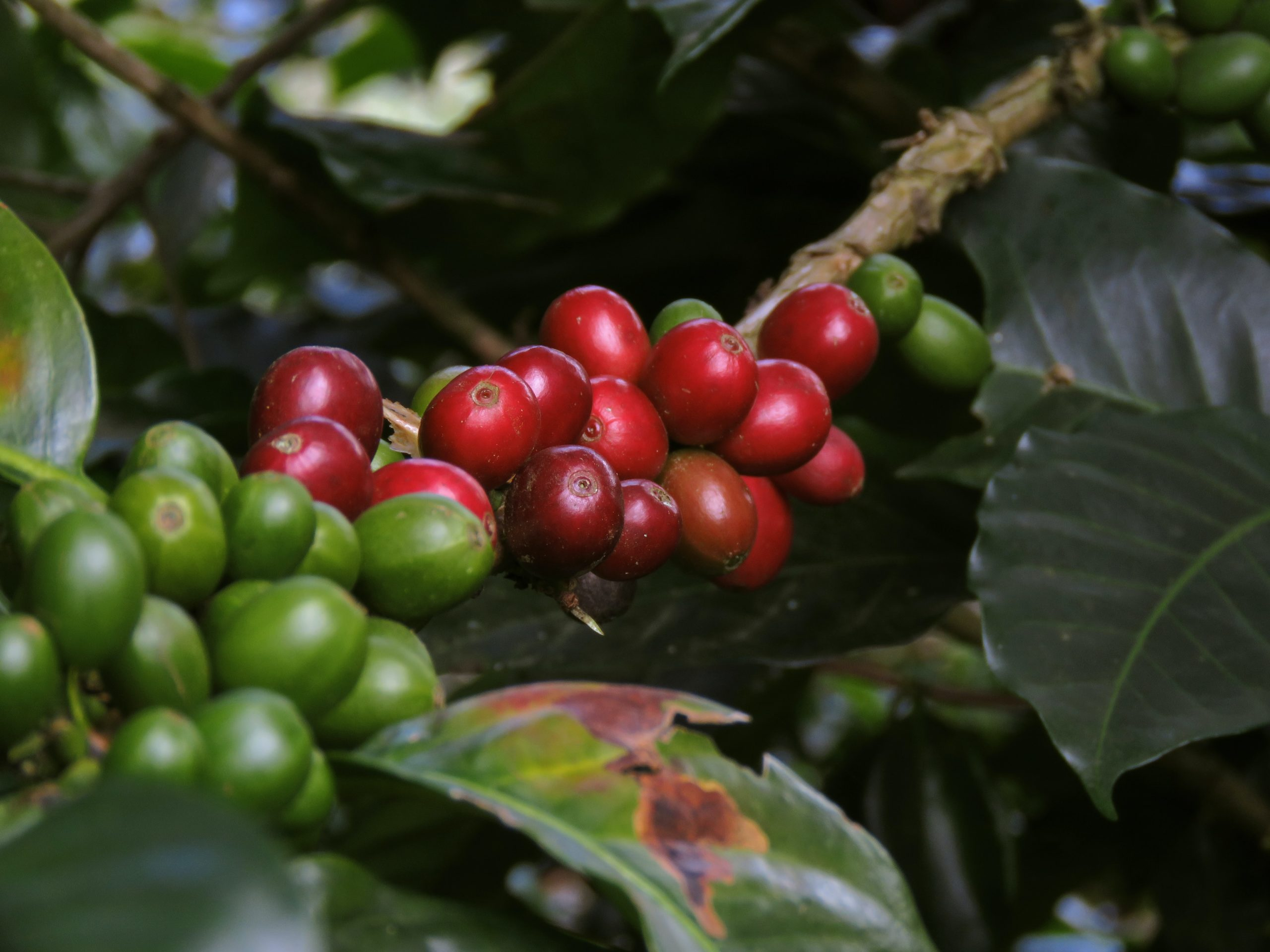 coffee cherries on a plant