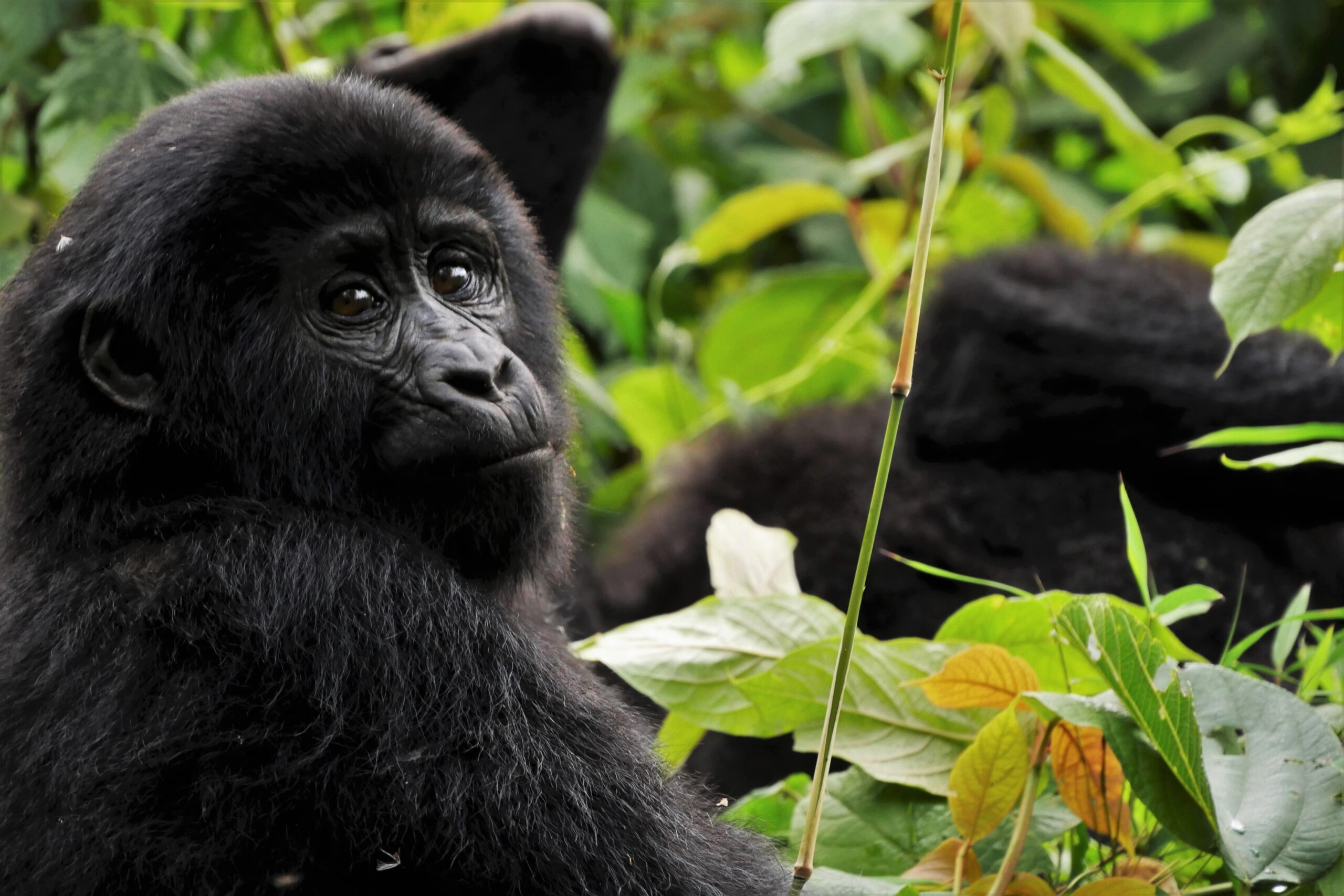 an endangered gorilla in the forest