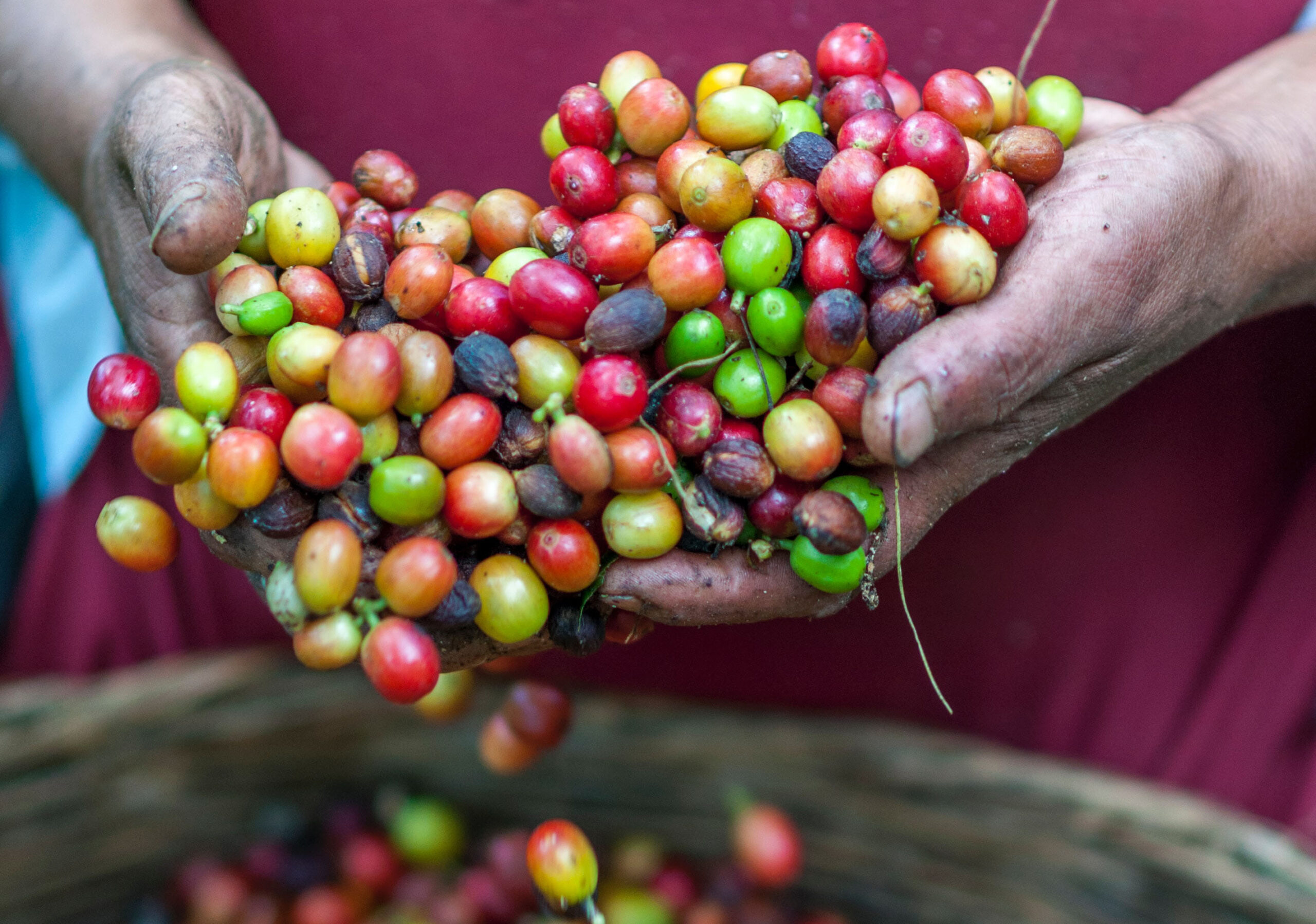 a person scooping up coffee cherries with her hands